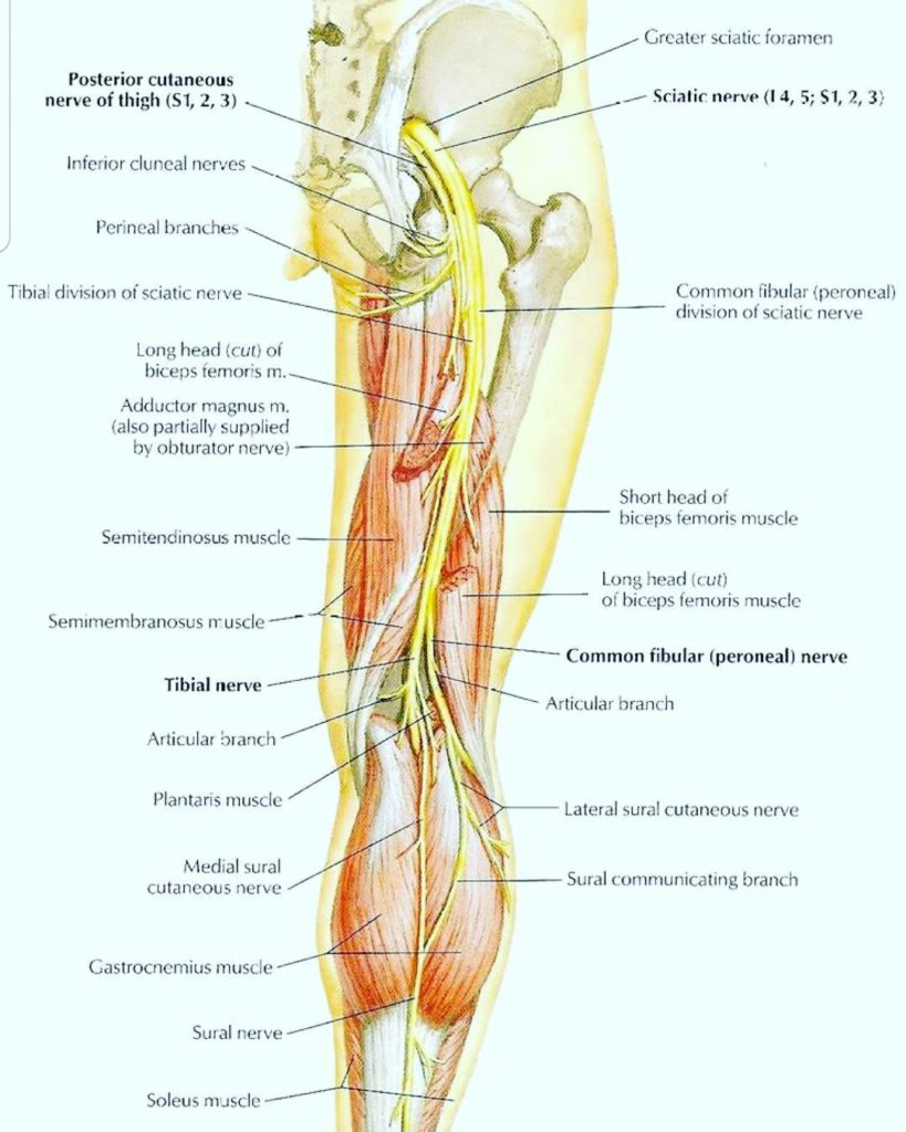 What is the largest AND longest nerve in the body?hellip